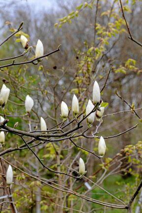 Magnolia 'Anticipation' i knopp.