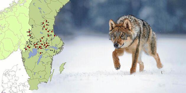 Forskare misstänker att tjuvjakt kan ha tömt Dalarna på varg