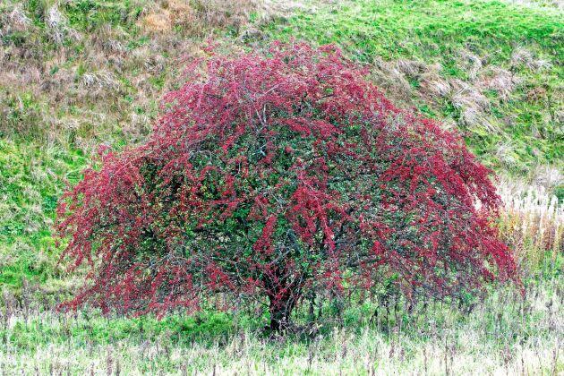 BUSKIG. Hagtorn är en rosväxt och finns som både buske och träd. Här ett trubbhagtorn, Crataegus monogyna. Foto: IBL