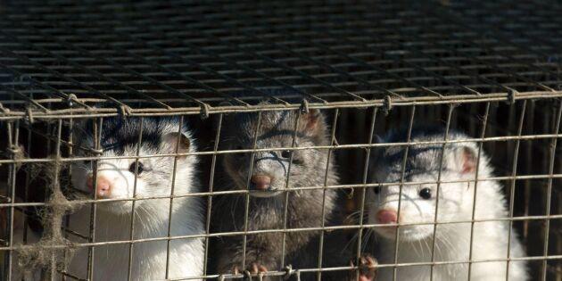 Över 100 kontrollbesök i år på Blekinges minkgårdar