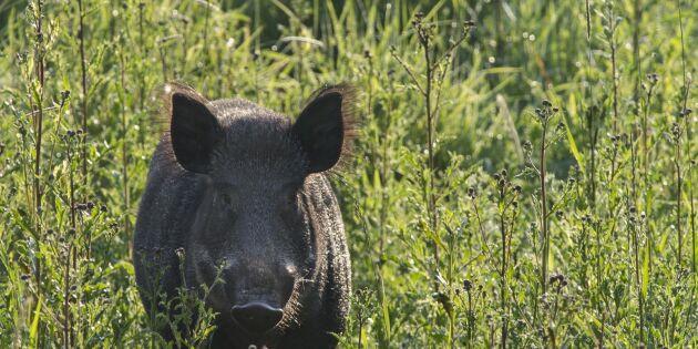 Myndigheter varnar för svinpest