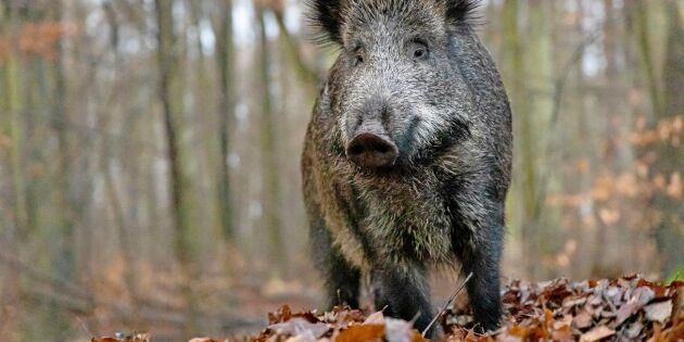 Belgien snart fritt från afrikansk svinpest