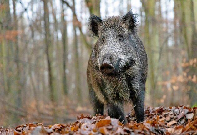 Belgien kan förklaras fritt från afrikansk svinpest i oktober 2020. På bilden ett vildsvin i Polen.
