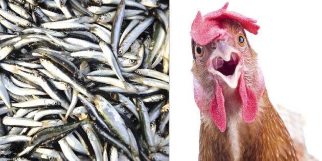 Fiskmjöl? Är det mat för en värphöna?