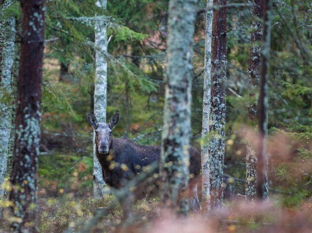Jaktlag i Jämtland som vill ta sig ut till sina marker med terrängfordon för att exempelvis jaga älg måste söka dispens.