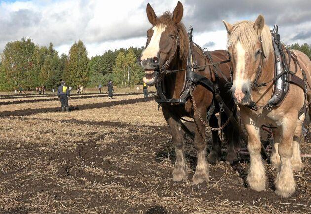 Glada tävlande i hästplöjningsklassen!