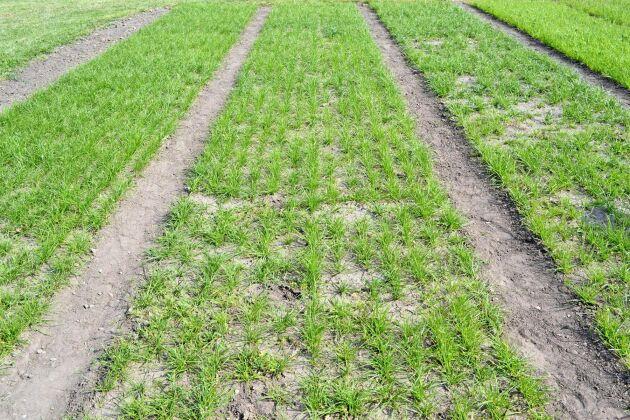 Hur påverkar sådjupet vallens uppkomst? Den 3 maj såddes det vänstra fältet med 0 cm sådjup, mittenfältet med 2 cm och det högra med 4 cm.