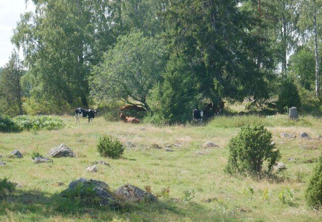Regeringen överväger ett nytt nationellt stöd för betes- och ängsmarker med natur- och kulturvärden.