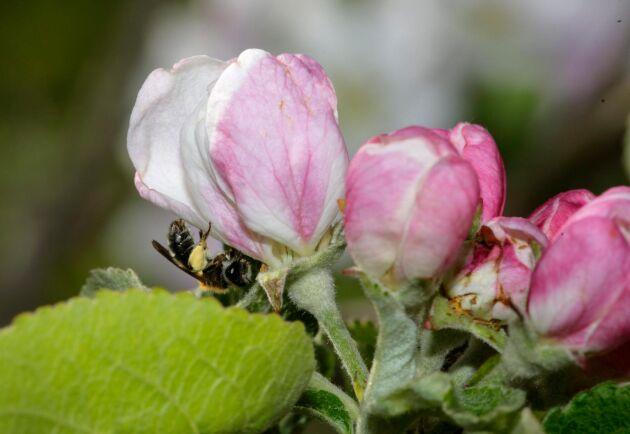 Ett solitärbi pollinerar en äppelblomma. Solitärbin är viktiga i alla frukt- och bärodlingar.