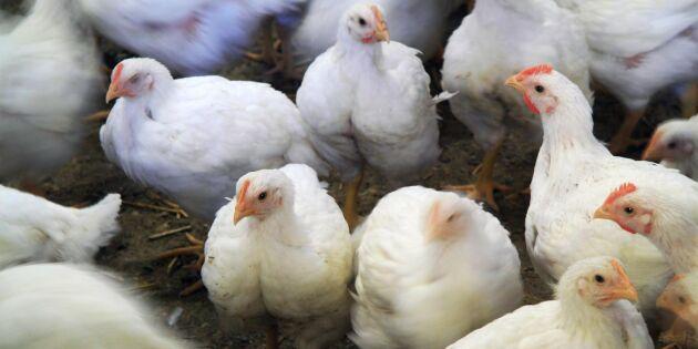 Se kycklingens hela livshistoria i din mobil
