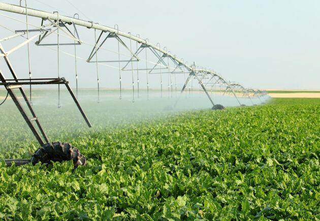 Grundvattennivåerna är låga på flera håll i landet och även de med egna brunnar uppmanas att spara på vattnet. Här bevattnas ett betfält. Arkivbild.