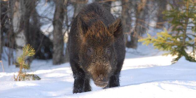 Staten vill ha koll på cesiumhalten i vildsvin