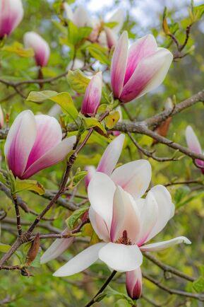 På Linudden finns många ovanliga magnolior, denna saknar namn.