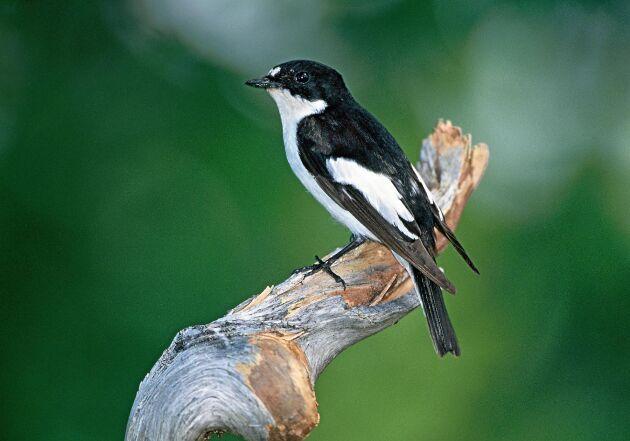 Svartvit flugsnappare flyger hela vägen ned till Afrika på vintern.