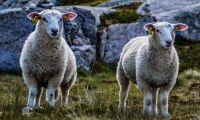 Fjäll-fåren hemma i Norge