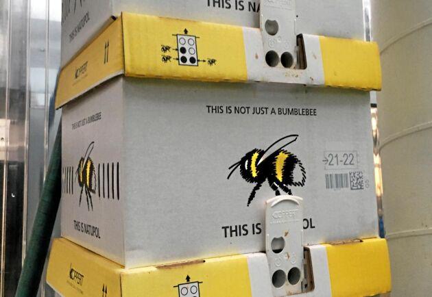 ... och nya humlor som kommer med jämna mellanrum för att hela tiden kunna pollinera.