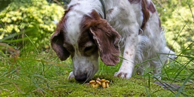 Så lär du hunden leta svamp