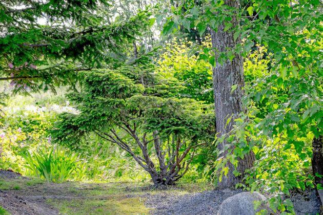 Fågelbogranen som planterades 1996 fick ett lyft när den stammades upp.