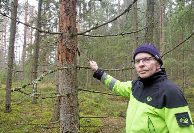 Skogsägaren Göte Carlsson visar en angripen gran.