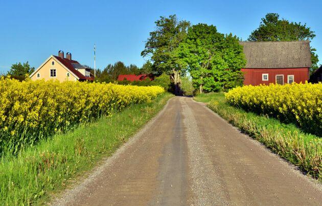 Så här fint blommar inte rapsen på alla fält i Sverige i år.