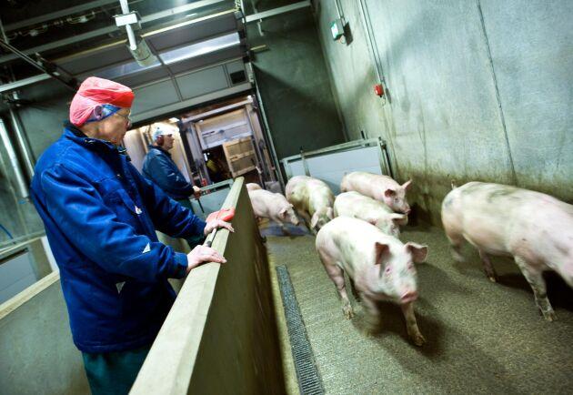 Allt fler danska grisar hamnar på kinesiska tallrikar.