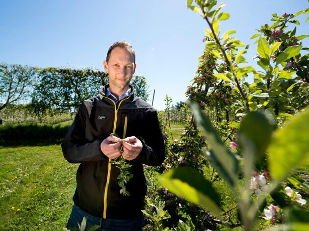 Förra året var svenska äppelskörden stor men i år tror Henrik Stridh, VD för Äppelriket, på en 30-35 procent lägre skörd.