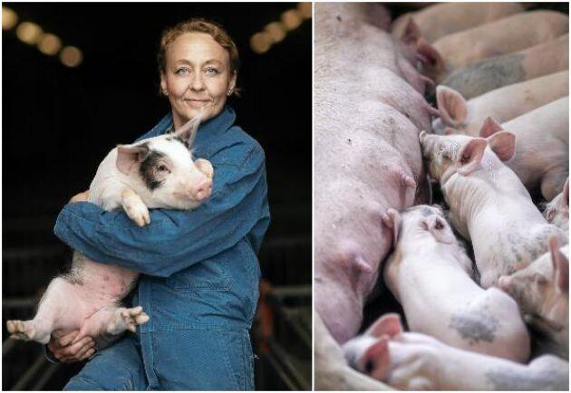 Grisproduktionen har byggts ut i flera etapper på Äs och Viggby. Gården är ansluten till suggring och producerar 8 000 grisar per år i integrerad produktion.