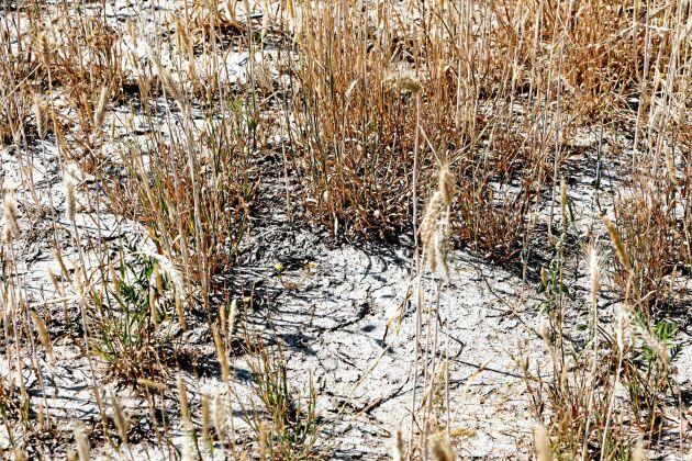 En torr rågåker i Mönsterås, där torkan slagit hårt.