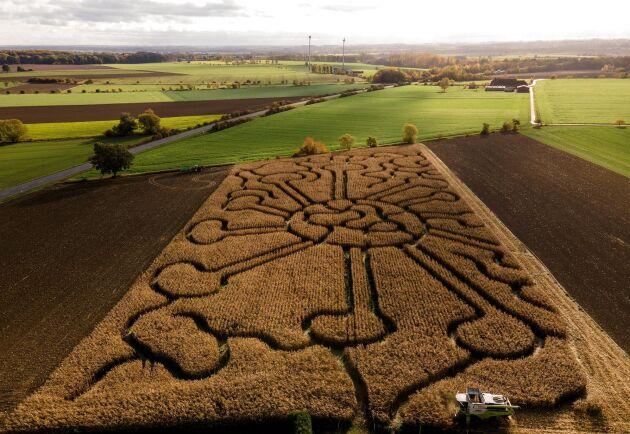 Drönarbild från den 27 oktober då majset där labyrinten varit började skördas.