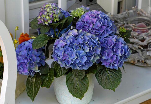 Bippeti, bappeti, bo! Trolleri när färgen slår från blått till rosa på hortensian.