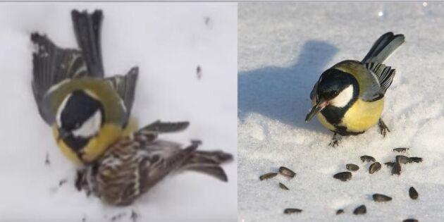 Hungriga talgoxar hittar nya byten – se när de äter småfåglars hjärnor