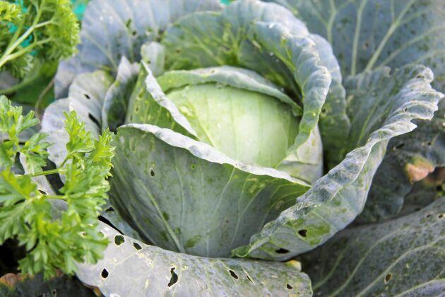 Nedbrytningsprocessen i hügelkulturen gör att grönsakerna får ständig näring.
