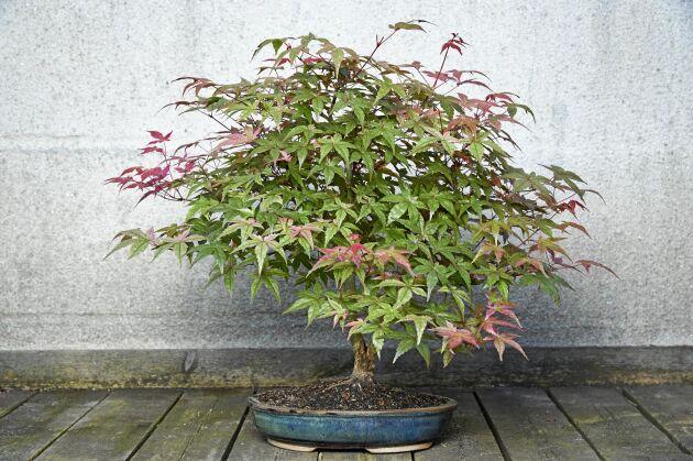 En japansk lönn, 'Deshojo', som bonsai. De japanska lönnarna skiftar i färg från ceriserosa på våren till grönt och på hösten rött. Den här bonsaistilen kallas informellt upprätt.