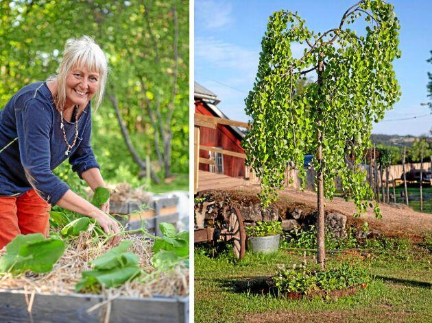 För fyra år sedan bytte Susanne och hennes familj radhuset mot Nebulosa gård i Sundsbruk. En av hennes favoriter i trädgården är det manchuriska valnötsträdet, även kallat Nordens palm.