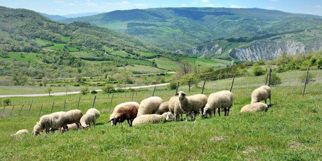 Italienska skogar växer - hotar fårnäringen