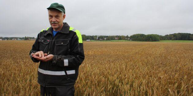 Regnig höst hotar finsk spannmålsskörd