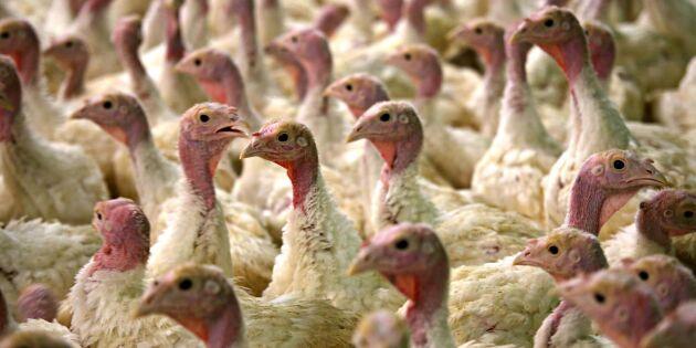 4000 skånska kalkoner avlivade efter influensautbrottet