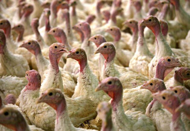 4000 kalkontuppar fick avlivas efter att fågelinfluensa av typen H5N8 konstaterats på en gård i Skåne. OBS arkivbild, kalkonerna på bilden är inte från den aktuella gården.