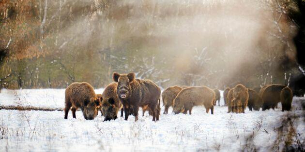 Vildsvin kan snart vaccineras mot svinpest