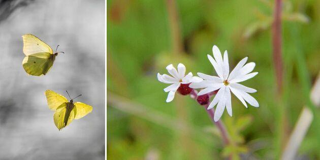 Om blomman doftar fel så kan fjärilen dö