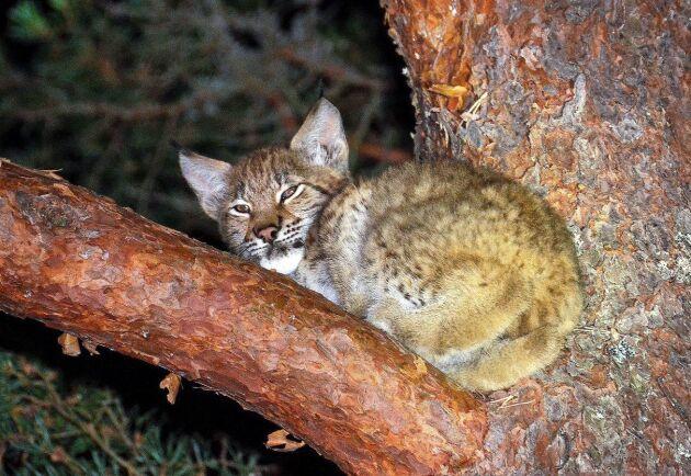 På lodjur är det allmän jakttid och man får med stöd av 28§ i jaktförordningen skydda sina tamdjur. Utöver det är det länsstyrelsen som beviljar om skyddsjakt.