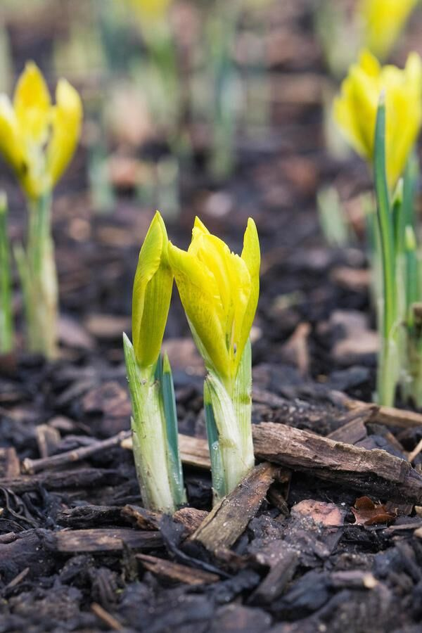 Iris danfordiae flower buds.