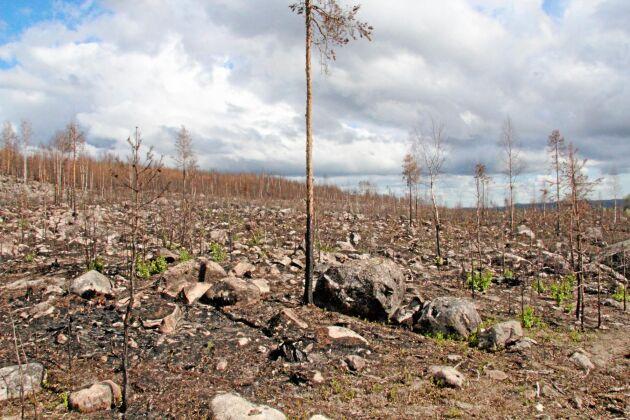Även i rejält steniga markpartier bedöms det vara möjligt att plantera. För ett år sedan förlorade Björn Brink 330 hektar skog i branden i Kårböle, Hälsingland. I dag, som tröst i bedrövelsen, möjliggör försäkringsersättningen återbeskogning, amortering av banklån och investering i ny skogsmark.