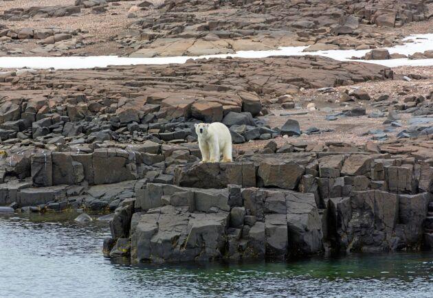 Isbjörn på Nordaustlandet, den näst största ön inom ögruppen Svalbard.