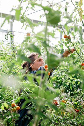 Angelika skördar de sista tomaterna i växthuset.