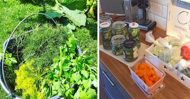 Kryddor till max, skördas och fryses in dagligen så här års. Överskottet av gurka och morötter blir ofta till olika inläggningar.