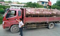 Afrikansk svinpest slår hårt mot Kinas grisproduktion