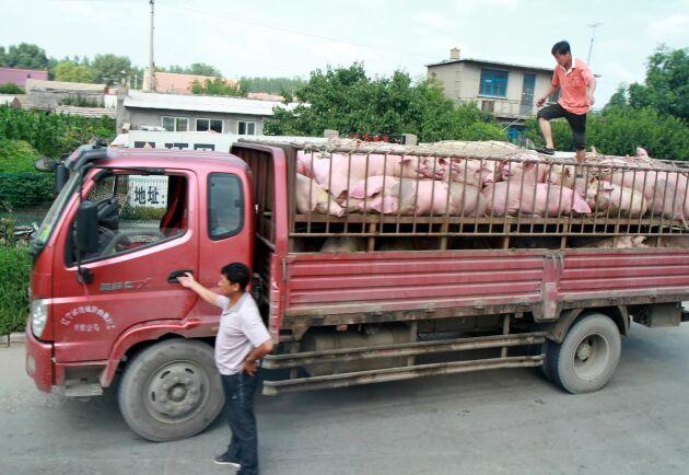 Antalet grisar i Kina har rasat med 16,6 procent på ett år. Till stor del beroenden på svinpesten som enligt vissa källor kan ha drabbat upp till 50 procent av landets grisgårdar.
