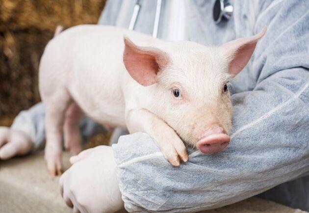 Många länder i Europa arbetar nu hårt för att minska antibiotikaförbrukningen i köttproduktionen. Svenska lantbrukare måste nu motiveras till att förbättra sig ytterligare.