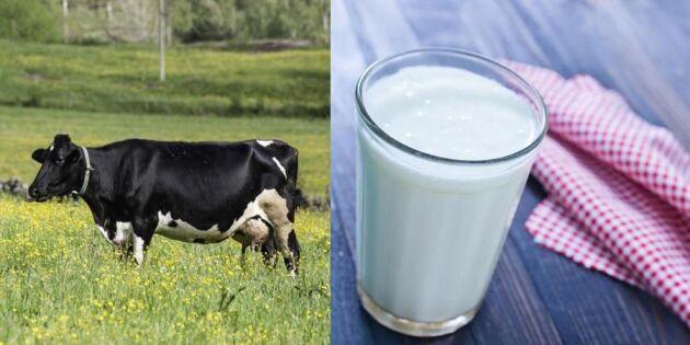 Dråpslaget: Bonden får rekordliten andel av vad vi betalar för mjölken
